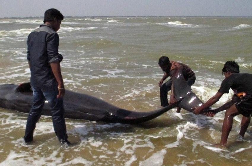 Togo: deux baleines échouées sur la plage de Lomé en une semaine