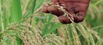 Agriculture / Les acteurs de la filière riz de l'Atacora s'activent pour une meilleure campagne 2020-2021