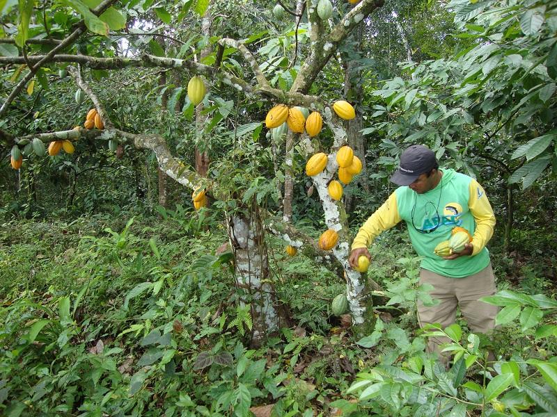 Governo da Bahia define novo modelo de manejo do cacau cabruca