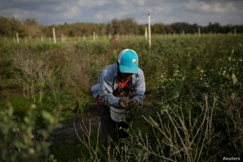 A Mexican migrant worker picks blueberries during a harvest at a farm in Lake Wales