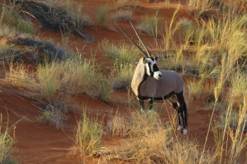 oryx-2693386_1920