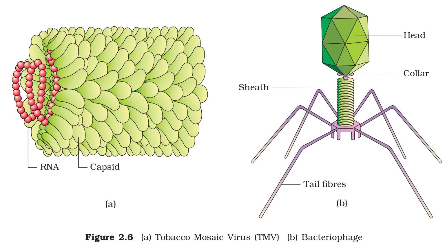 Kingdom Viruses Viroids And Lichens Vishvkosh