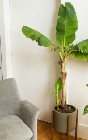 Como ter uma bananeira em casa 01 Vision Art NEWS