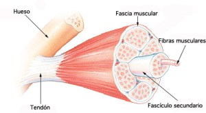 What is fascia and how is it connected within the human body?