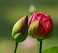 Prying Open the Bud