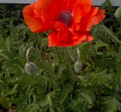 Red Poppies Returning