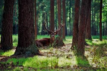 Deer in the Bialowieza Forest National Park, visit Belarus
