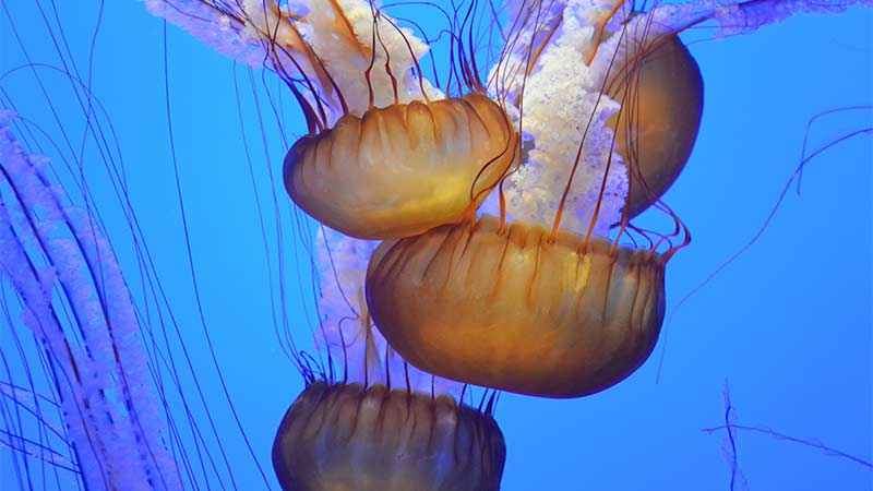 Group of Jellyfish at aquarium