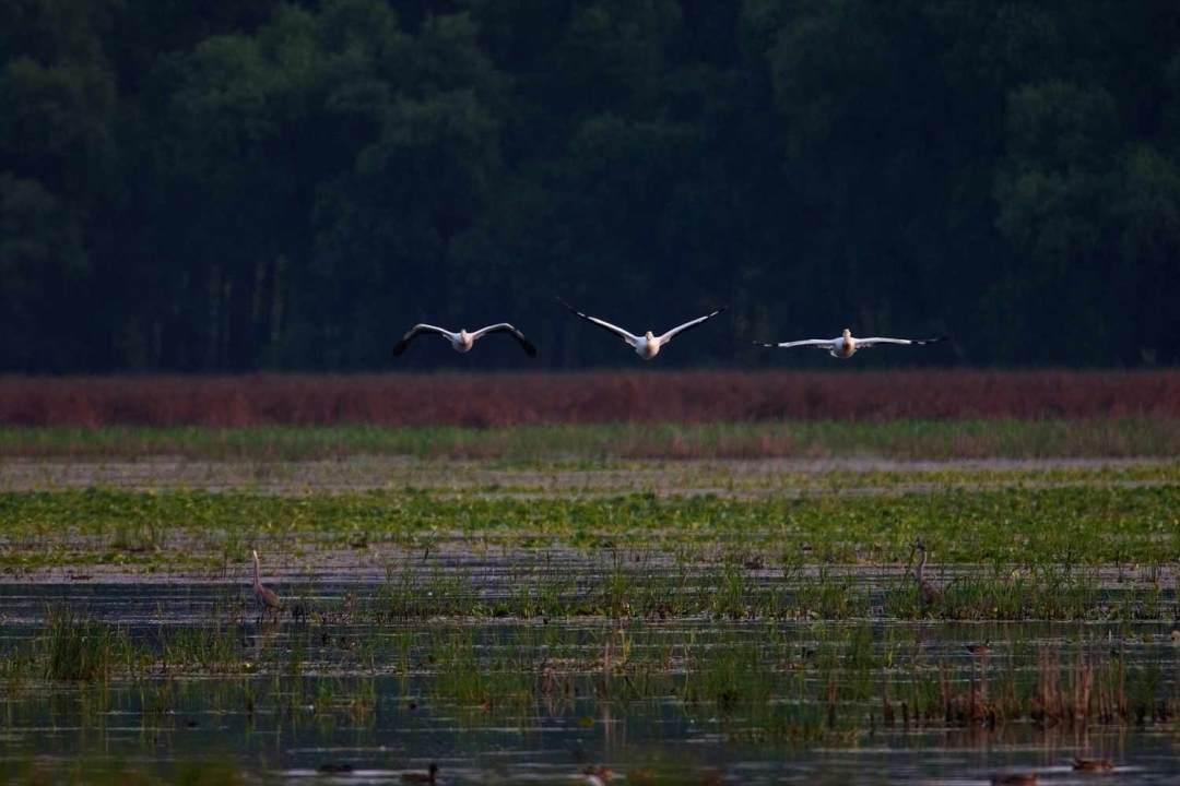 Wildlife Refuge Pelicans