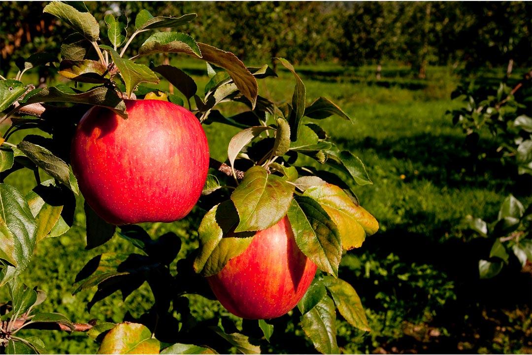 Honeycrisp apples hanging on a tree.