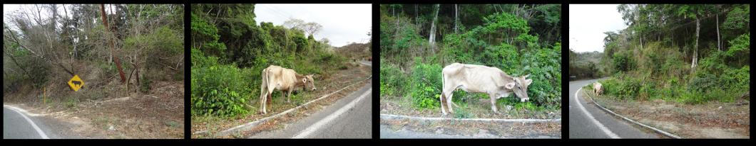 Cows Along the Highway in Puerto Vallarta, Mexico