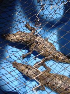 Nuevo Vallarta / Flamants: Cora crocodiles au sanctuaire