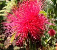 Botanical Gardens Bottle Brush Flower Puerto Vallarta Mexico