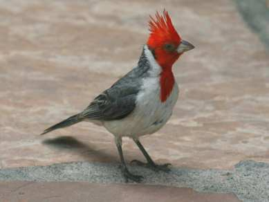 Red-crested Cardinal on Maui