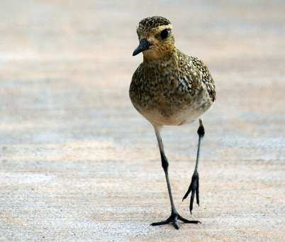 Pacific Golden Plover Bird