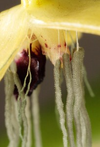 bulbophyllum-nocturnum-detail-credit-andre-schuiteman-11