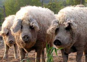 WoolyPigs01