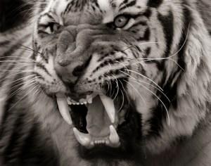 Siberian TigerFerocious
