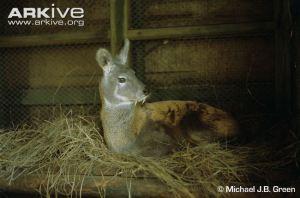 Male-Kashmir-muskdeer-in-captivity