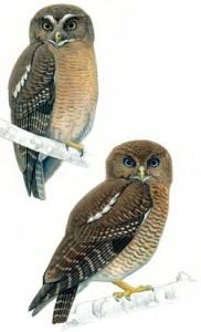BlueOwls02MongabaySite