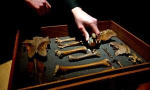 Dodo-bones-found-at-GrantMuseum