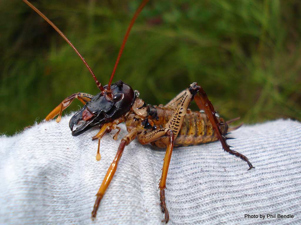 Giant Weta Carrot