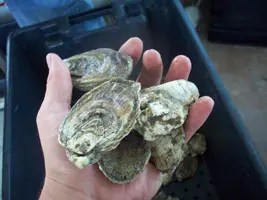 Chesapeake Gold Oysters