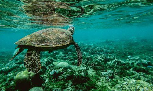 Les tortues du Quintana Roo: une espèce rare et protégée