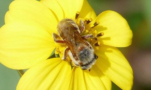 A la découverte de l'abeille sacrée maya: la «melipona»