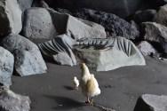 Des dixaines de poules courent librement sur l'île ... jusque sur les plages