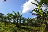 Des bananiers dans l'un des nombreux jardins de l'île.