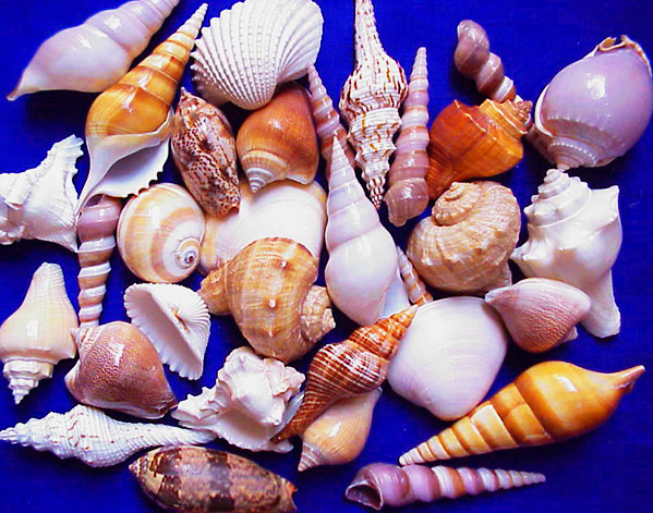 How To Clean And Prepare Your Beach Shells Visit Fort