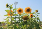 Sunflowers at Lyon's Park - Photo by Alanna Gurr