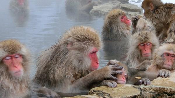 Snow Monkeys at Jigokudani in winter time