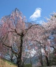 2009/4/15 11:00 弘法山古墳 桜情報