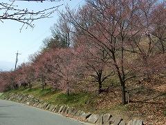 2011/04/10 14:00 弘法山の桜の様子