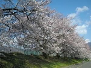 4/14 美須々駐車場の桜 pm4:00頃