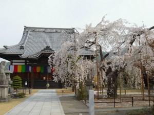 2017/04/17 am8:40頃 兎川寺の枝垂れ桜
