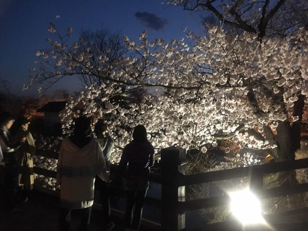 國寶松本城  櫻花樹光之迴廊