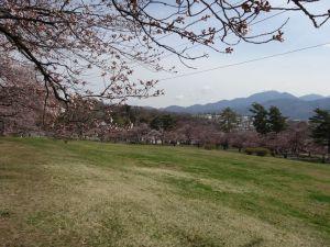 松本城山公園の桜