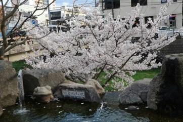 2018-4-4若かわえりの水と桜
