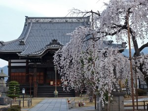 Cherry Blossoms Are Blooming Around Matsumoto