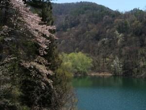 牛伏寺の桜、まだ間に合います