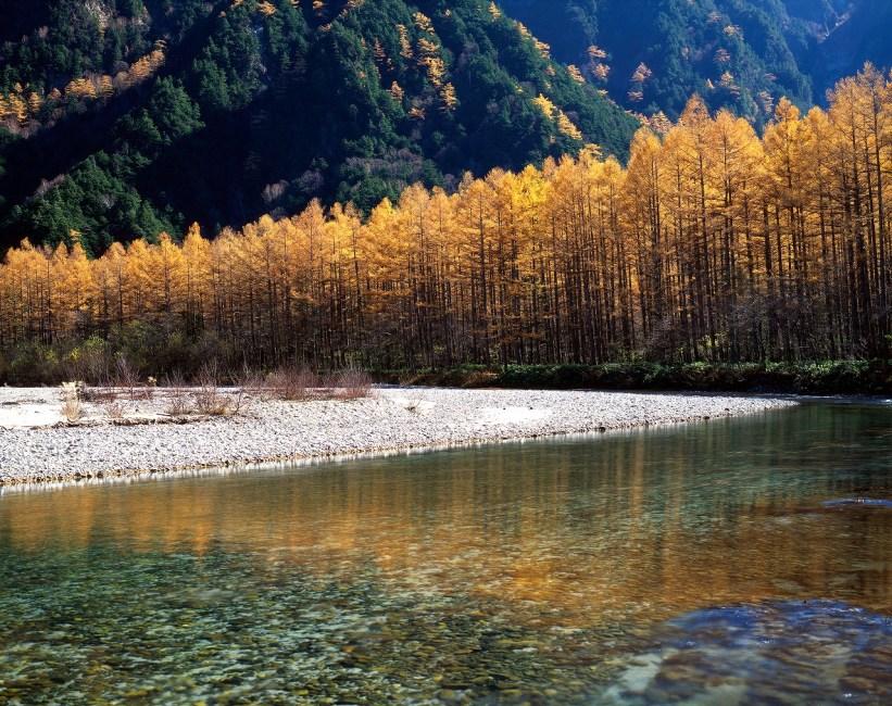 上高地 唐松の黄葉