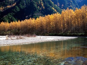 Kamikochi's Larches