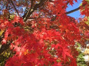 ใบไม้เปลี่ยนสีในตัวเมืองมัตสึโมโต้