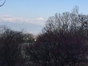 アルプス公園の梅が開花しました。