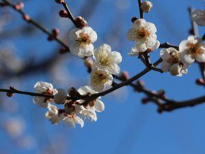 松本城公園の梅が綺麗に咲いています。