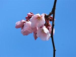 辰巳の庭のコヒガンサクラ開花しました🌸