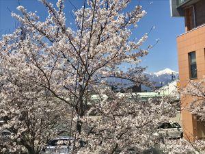 庄内地区公民館の桜🌸満開